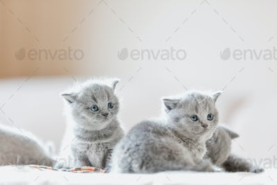 Litter of kittens in home. British Shorthairs