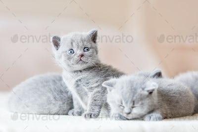 Bunch of little grey cats. British shorthair.