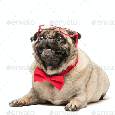 Cute pug dog in red bowtie and glasses.