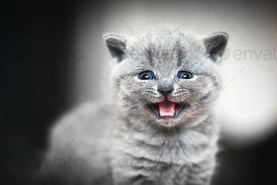 Cute kitten meows. British Shorthair cat