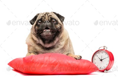Pug dog laying on a red pillow with a clock.