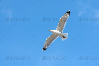 Flying seagull on blue sky.
