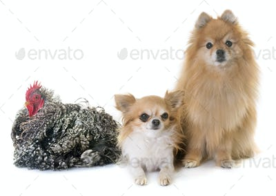 pomeranian spitz, chihuahua and chicken