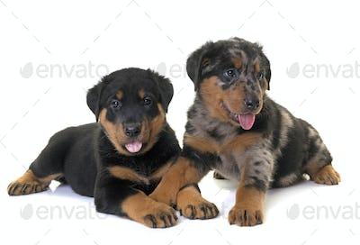 puppies beauceron in studio