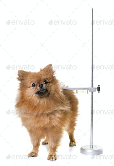 measuring rod for dog