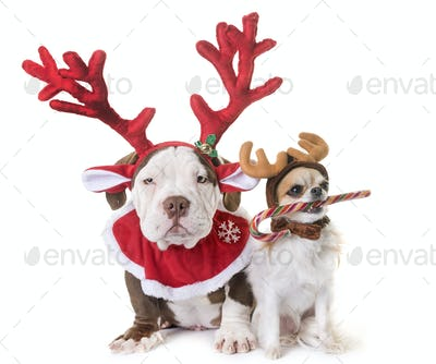 puppy american bully, chihuahua and christmas