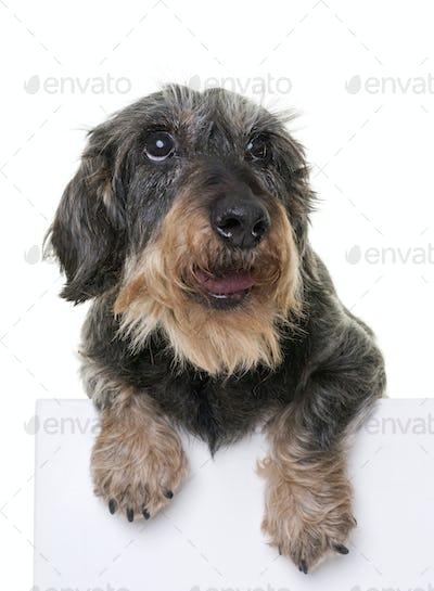 dachshund in studio