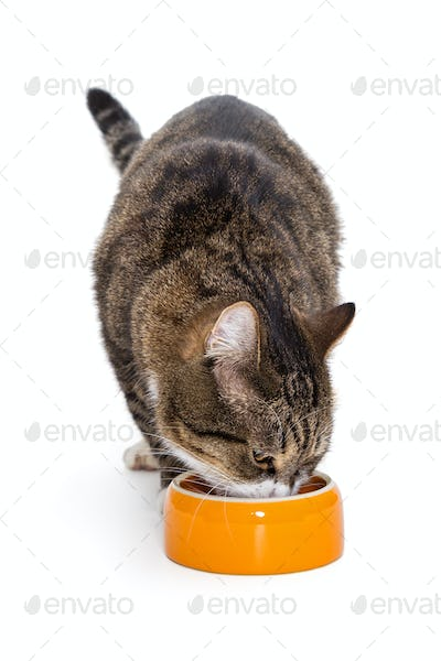 Grey cat eating from the  bowl