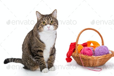 Big  gray cat and a basket