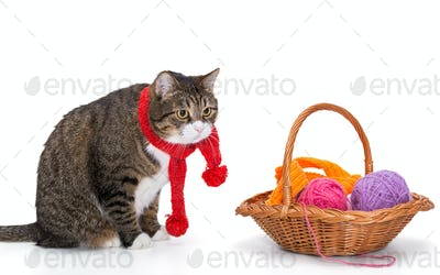 Big  gray cat in a red scarf