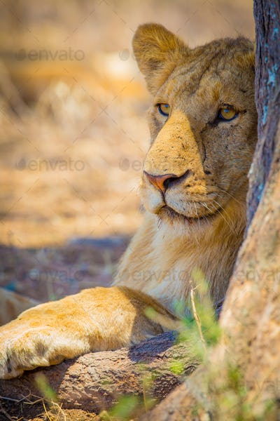 Lion rest together with the pride in Serengeti