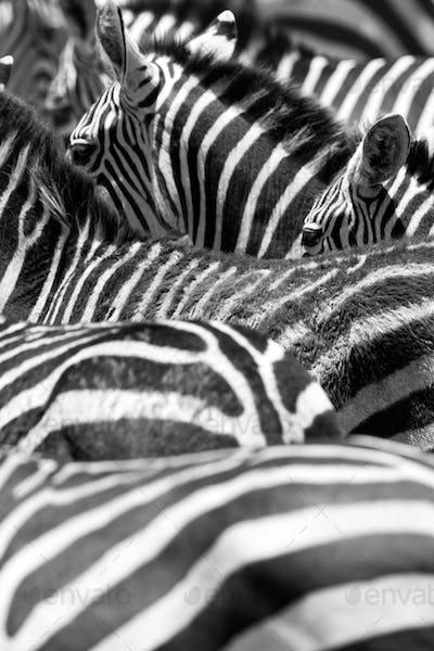 Close up of the black and white zebra stripes