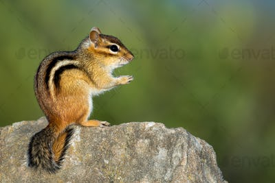 Eastern Chipmunk - Tamias striatus, sitting hind legs on a rock.