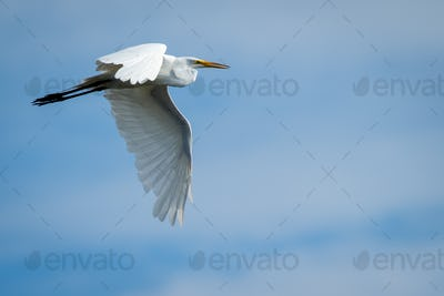 Great Egret - Ardea alba, flying against a mixed sky of blue and light clouds.