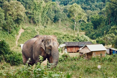 Elephant in village