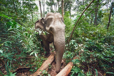 Elephant in jungle