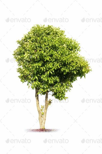 sweet scented osmanthus tree