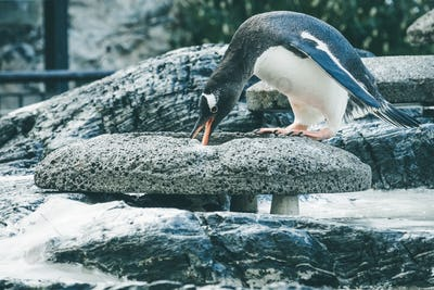 Small cute penguin collecting  pebbles