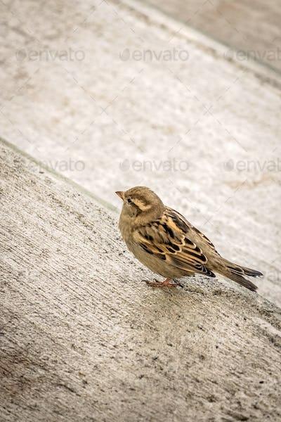 Small sparrow bird