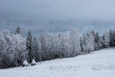 Snow covered fir trees in the mountains