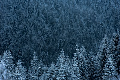Winter landscape with snowy fir trees and forest. Christmas concept