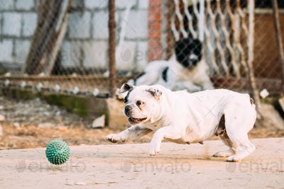 White French Bulldog Dog Play With Ball In Yard.