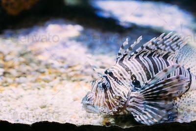 Red Lionfish Pterois Volitans Is Venomous Coral Reef Fish Swimmi
