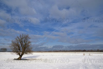 Solitary tree in a snow covered landscape near the Dutch village Werkendam
