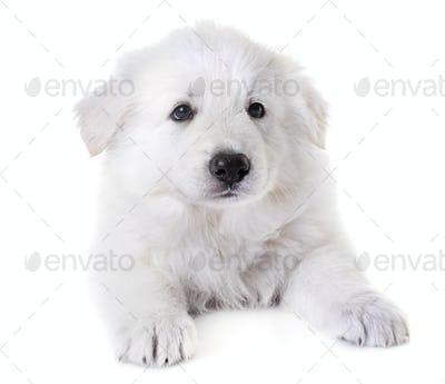 puppy White Swiss Shepherd Dog