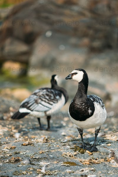 Two Barnacle Geese Or Branta Leucopsis, The Wild Sea Northern Bi