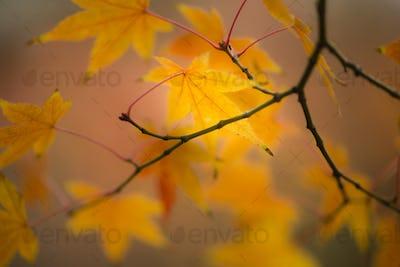 Maple tree, acer palmatum, with winged seeds.
