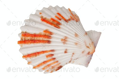 Sea shell on a white background