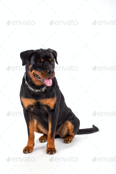 Young rottweiler sitting over white