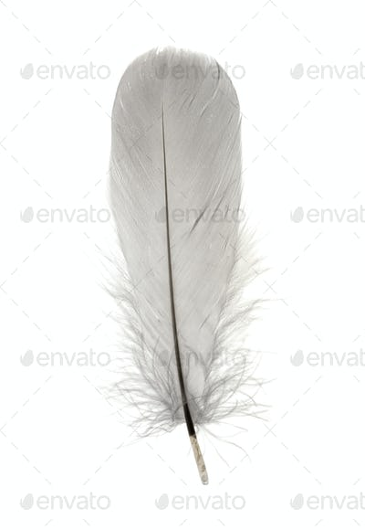 Single grey birds feather isolated on white