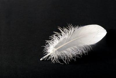 Small fluffy white single bird feather on black