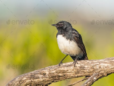 Willie Wagtail on Branch