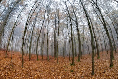 Fog in beech forest in autumn