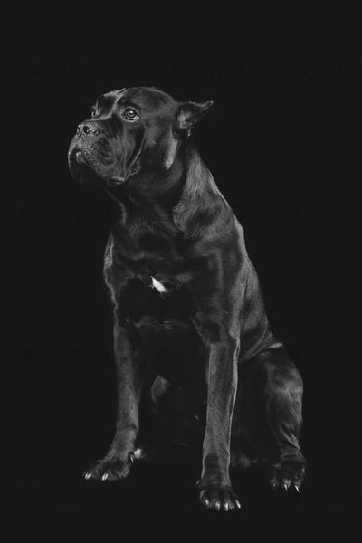 beautiful cane corso dog