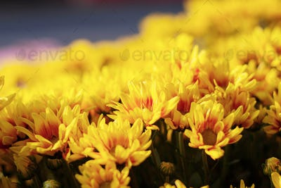 The beautiful of yellow flowers
