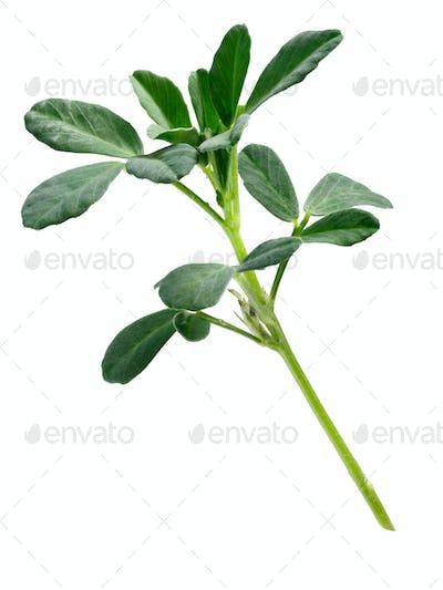 Fenugreek Trigonella foenum-graecum plant, paths