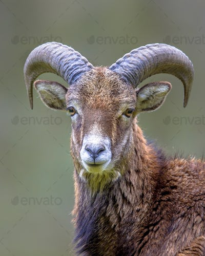 Portrait of Mouflon sheep male on hill