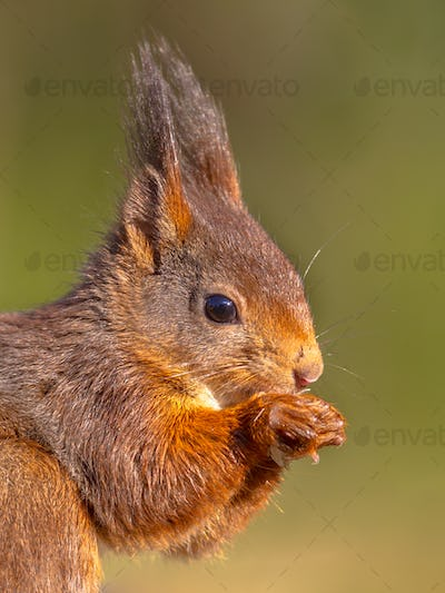 Close up portrait of Red squirrel looking at camera on green bac