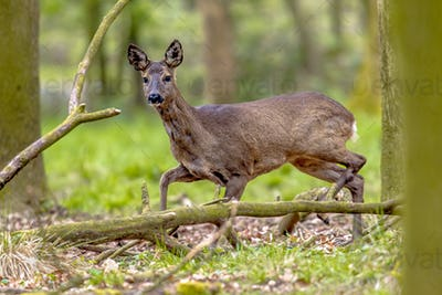 Anxious Roe Deer