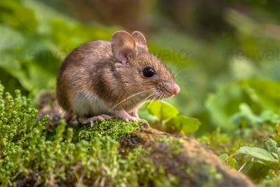 Cute Wood mouse in natural habitat