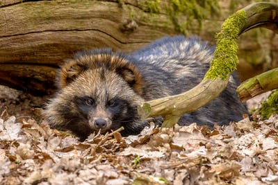 Raccoon dog resting