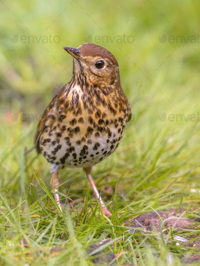 Song Thrush looking with one eye with green grass background