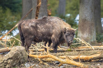 Wisent looking in the forest