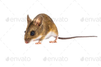 Walking Field Mouse on white background