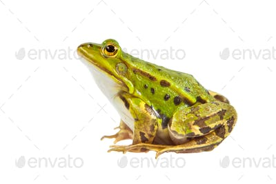 Green Pool frog male