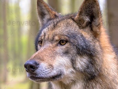 Portrait of Wolf in a forest